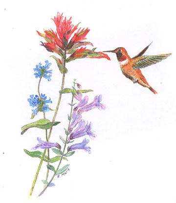 Anna's hummingbird on Penstemon euglaucus